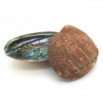 Abalone Shell Rough Mexican 13-15cm