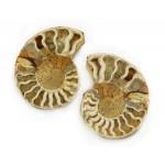 Ammonite Pair Boxed