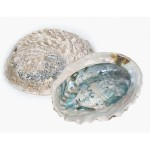 Abalone Shell Rough 17-19cm