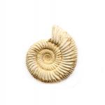 Ammonite Ribbed-1 pc