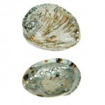Abalone Shell Rough 5-10cm
